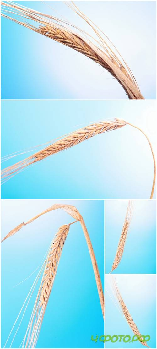 Photo Cliparts - Wheat