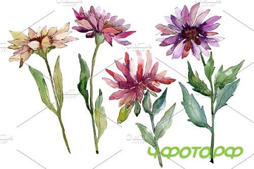 Flower Asters Watercolor png - 4005017